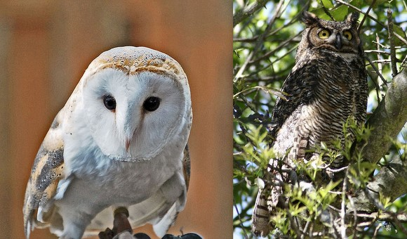 "Do owls really go ""Hoot""? That and lots more owl questions ..."