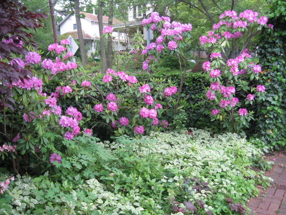 Time To Prune Your Rhododendrons And Maybe Plant Some More