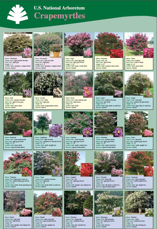 crepe myrtle care Part - 17:  crepe myrtle care photo gallery