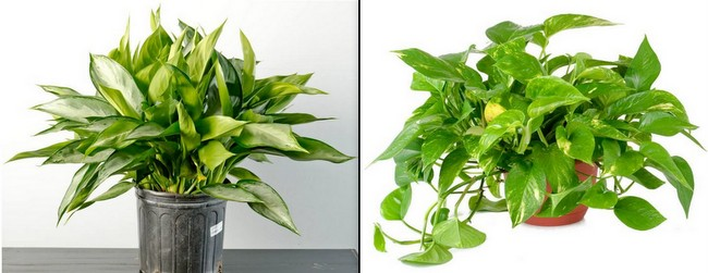 chinese evergreen l and pothos houseplants - Houseplants For Low Light