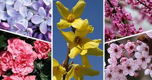 Flowering-Trees-&-Shrubs_525x275-b