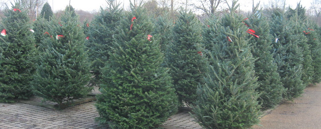 if properly cared for doing all the above most fresh cut trees will last at least five weeks before drying out some species keep their moisture longer - How To Keep Christmas Tree From Drying Out