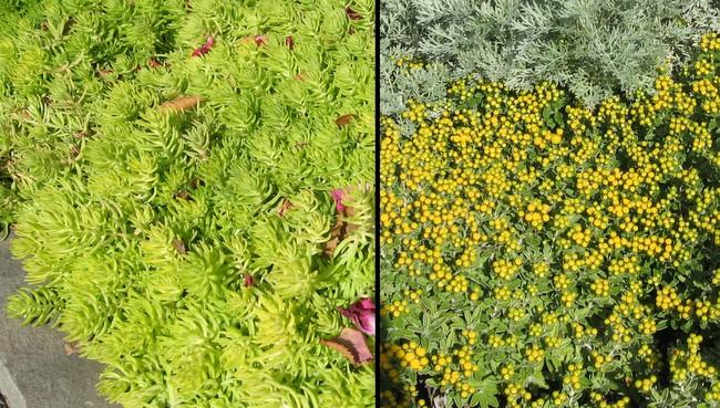 trend i applaud sedums as groundcovers  homestead gardens, inc, Natural flower