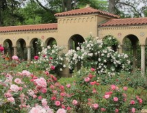 Roses at Monastery