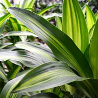 dracaena-fragrans-corn-plant