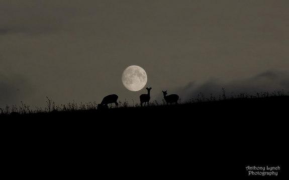 harvest-moon-deer-ireland