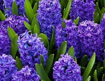 hyacinths-650x305