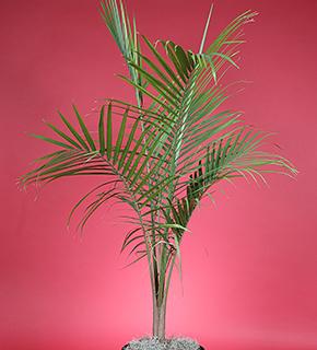majesty-palm-10in