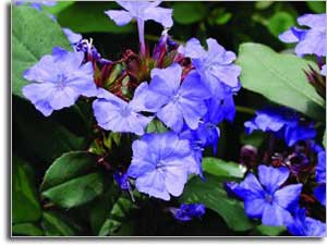 plumbago-blue2