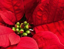 red-poinsettia-banner