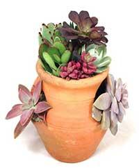 succulents-strawberry-pot